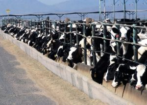 Cows on a feedlot.