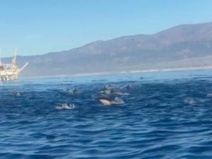Massive dolphin pod swarms BRI scientists in the Santa Barbara Channel