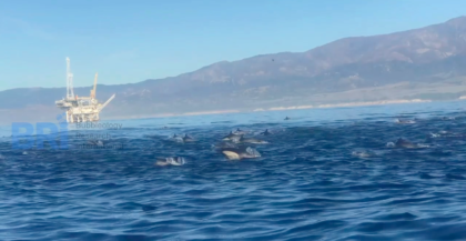 Massive dolphin pod swarms BRI scientists in the Santa Barbara Channel